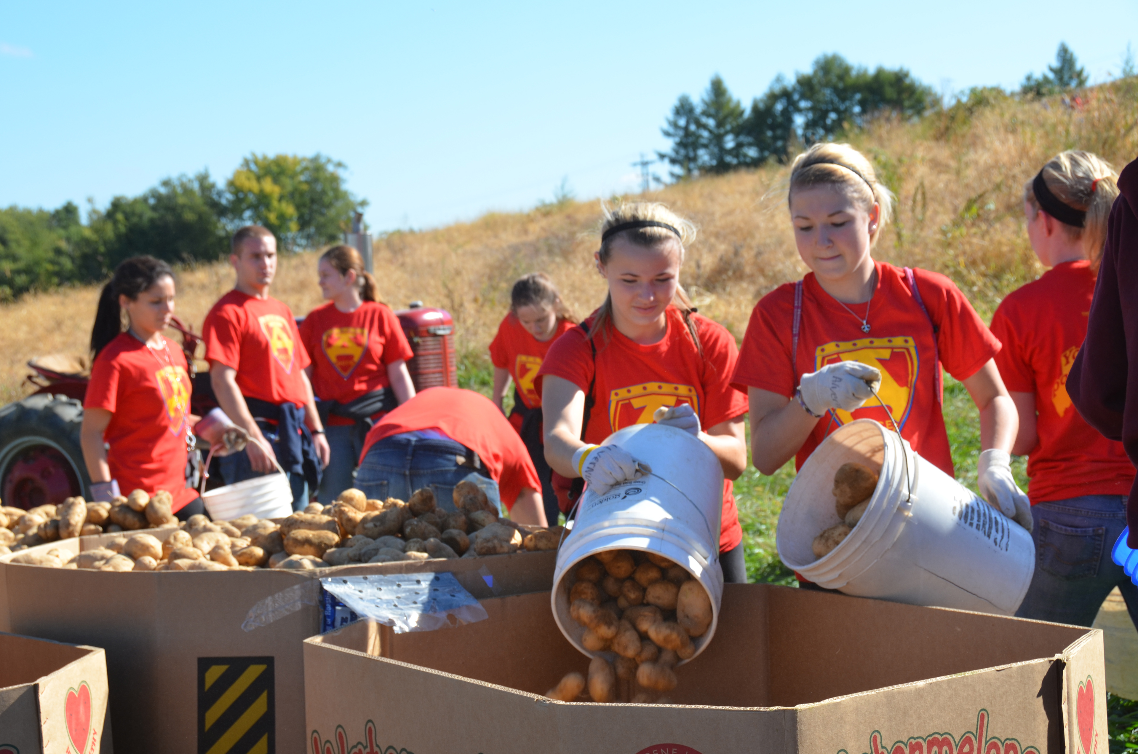 Volunteers collect potatoes