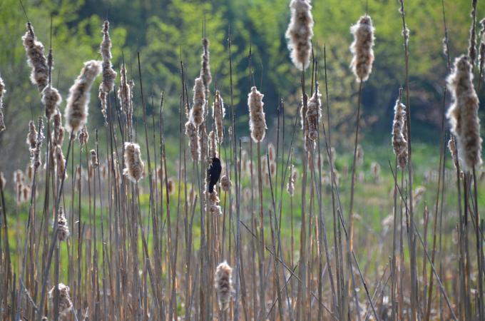 Bird on reeds in Angelica park