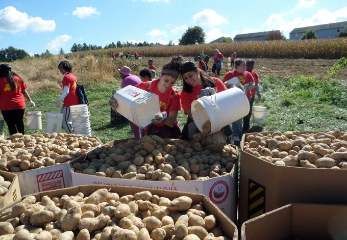 Volunteers gather potatoes